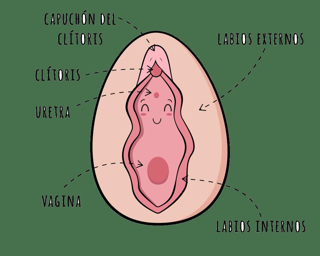 ¿Cuáles son las partes que se pueden diferenciar en la vulva?